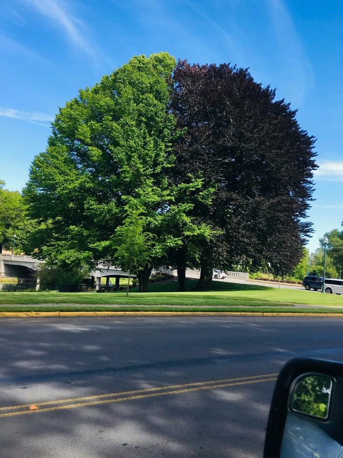 Эти три дерева растут вместе, образуя идеальное двухцветное дерево