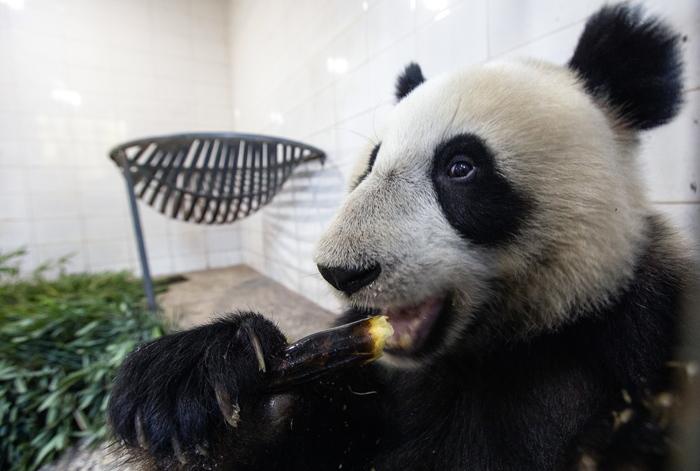 В России поселились две панды. Имя им Жуи и Диндин Панда, Зоопарк, Животные, Китай, Московский зоопарк, Длиннопост