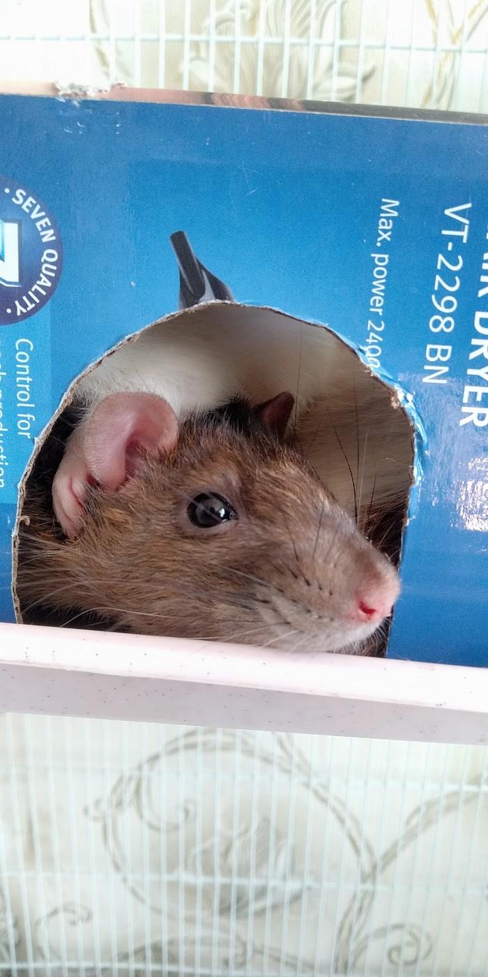 Крысо-коммуналка Декоративные крысы, Крыса, Домашние животные, Сон, Милота, Длиннопост