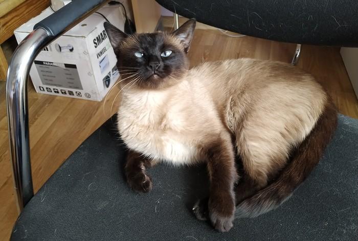 Йошка Тайская кошка, Котомафия, Косоглазие, Длиннопост, Кот