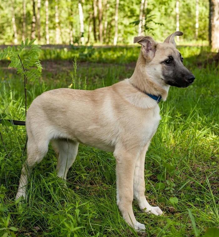 Тори ищет дом (Москва) Собака, В добрые руки, Домашние животные, Москва, Без рейтинга, Длиннопост, Ищет любящих хозяев