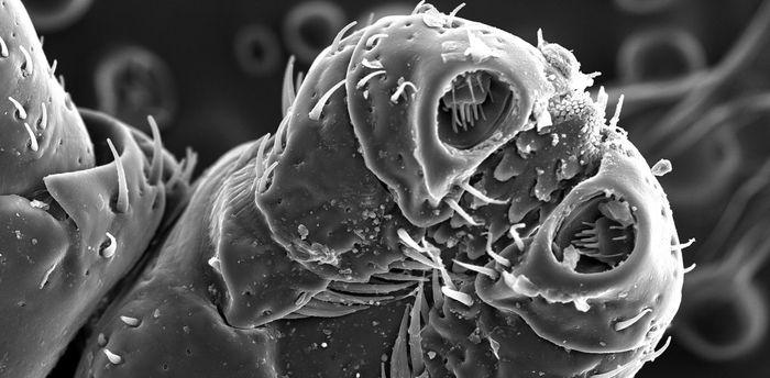 Для иксодового клеща человек – не добыча, а эволюционный тупик Клещ, Энцефалит, Клещевой боррелиоз, Природно-Очаговые инфекции, Заражение, Длиннопост