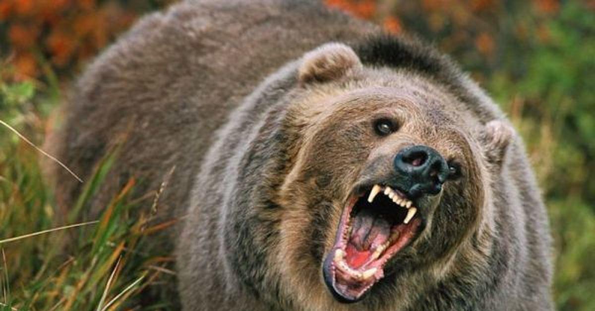 Тувинец столкнулся с бурым медведем и откусил ему часть языка