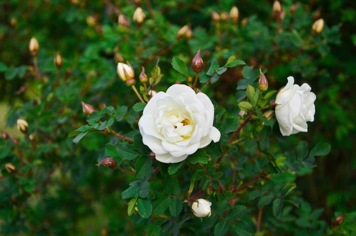 Цветы Цветы, Суккуленты, Фотография, Лето, Красота, Молодило, Длиннопост
