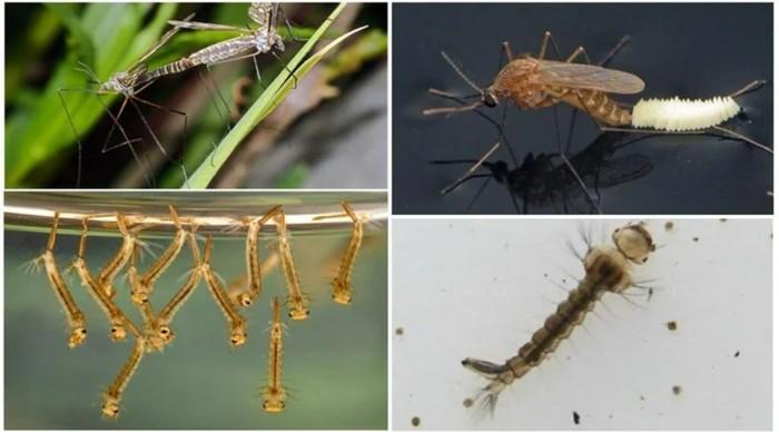 Биография комара с пелёнок и до самого конца. Комары, Личинка, Природа, Длиннопост, Насекомые