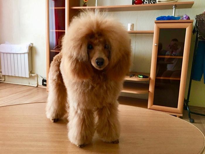 Помогите найти собаку! Москва м. Профсоюзная-Академическая Той-Пудель, Потеряшка, Москва, Без рейтинга, Собака