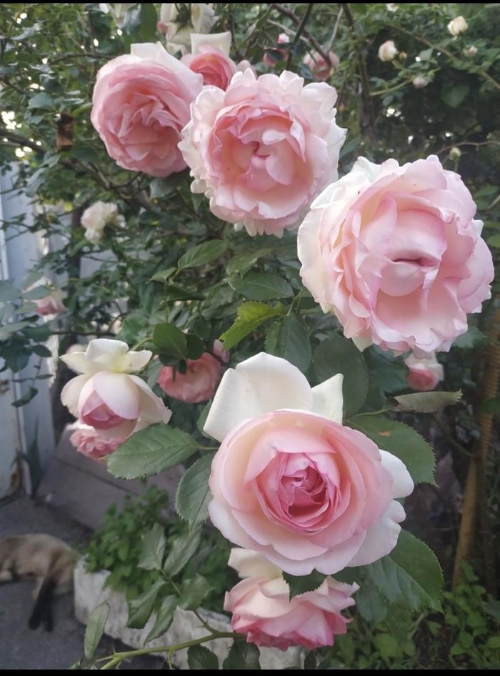 Розы моей мамы Роза, Зелень, Ландшафтный дизайн, Длиннопост