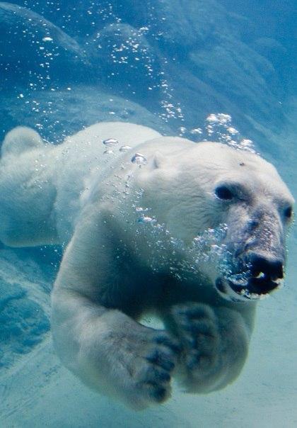 Под водой. Белый медведь, Медведь, Фотография