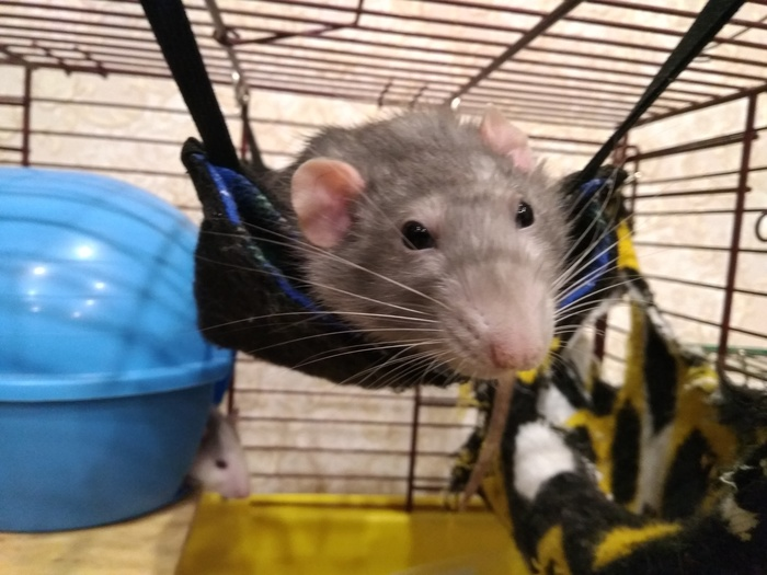 Поставила парня на место... Крыса, Декоративные крысы, Животные, Фотография, Видео