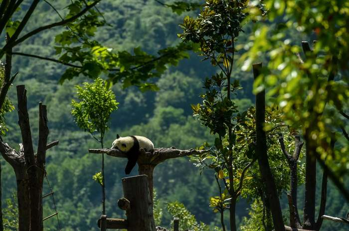 Безмятежность Панда, Лес, Китай, Заповедник, Фотография