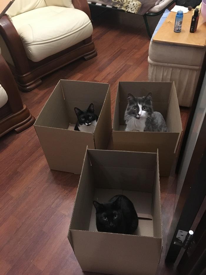 Ловушка для кошек Котомафия, Наглость, Кот, Домашние животные, Коробка и кот