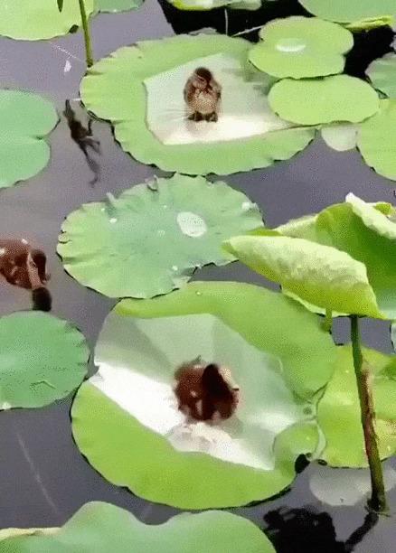 Солнечные ванны Птицы, Утята, Птенец, Кувшинка, Милота, Позитив, Гифка