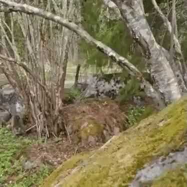 Хозяин леса во всей красе Кот, Котомафия, Норвежский лесной кот, Животные, Красота природы, Лес, Видео, Гифка