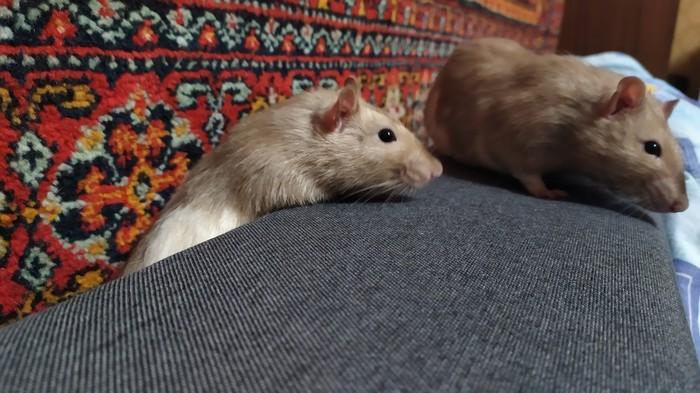Больше крыс богу крыс Декоративные крысы, Крыса, Крысиные хроники, Длиннопост