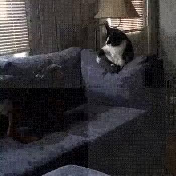 Не связывайся с котом Кот, Собака, Домашние животные, Котомафия, Диван, Противостояние, Видео, Гифка