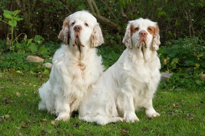 О породах собак №102. Кламбер-спаниель; суссекс-спаниель. Собака, Породы собак, Кламбер-Спаниель, Суссекс-Спаниель, Длиннопост
