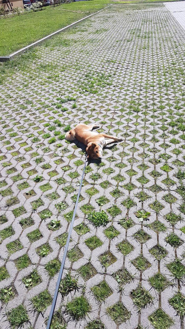 Протест Сиба-Ину, Собака