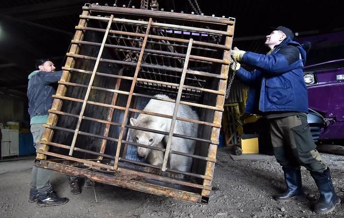 Белая медведица дошла до Норильска в поисках еды. Голодную путешественницу определят на ПМЖ в Красноярск Медведь, Белый медведь, Норильск, Роев ручей, Красноярск