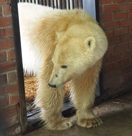 Спасенная в Норильске белая медведица ела камни, фольгу и целлофан - ветеринары Дикие животные, Спасение, Белый медведь, Зоопарк, Лечение, Негатив
