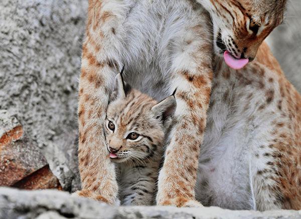 Восточносибирская рысь Гайка с одним из двух детенышей, родившихся 20 мая, в Московском зоопарке.