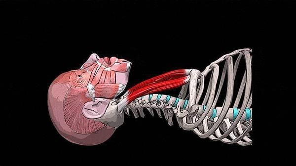 БОЛИТ ГОЛОВА В ЗАТЫЛКЕ И ВО ЛБУ: грудинно-ключично-сосцевидная мышца Здоровье, Медицина, Спорт, Анатомия, Видео, Гифка, Длиннопост