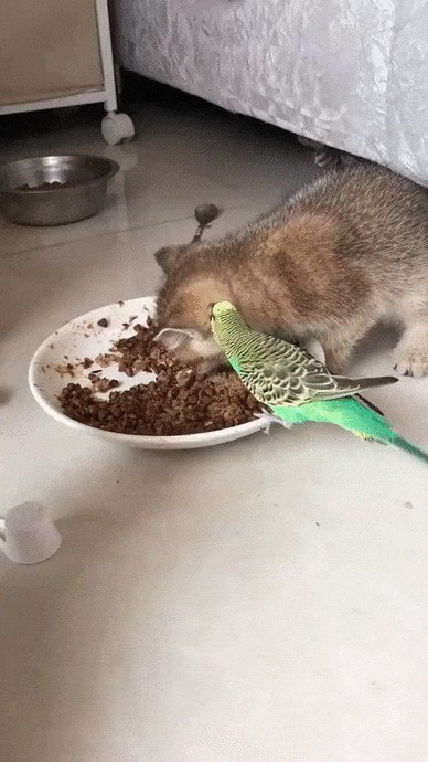 Это для меня! Кот, Котята, Домашние животные, Птицы, Попугай, Корм, Webm, Гифка
