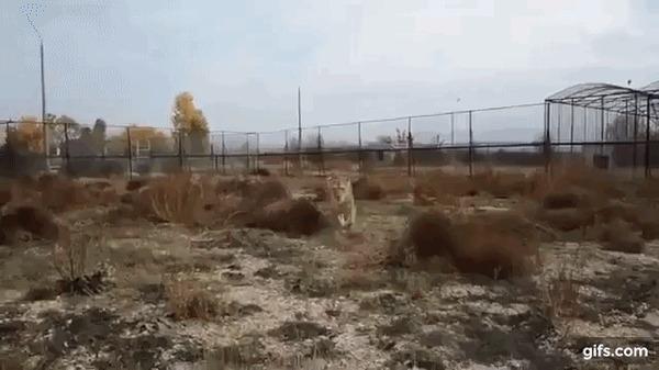 Самое милое нападение льва на человека