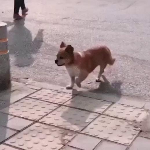 Гарцующий собакен Собака, Животные, Походка, Позитив, Гифка