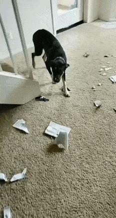 - Хозяин, они все врут, я не такой! Собака, Книги, Беспорядок, Гифка, Домашние животные, Животные