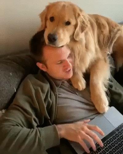 Когда хозяин в выходные наконец-то весь день дома Собака, Золотистый ретривер, Домашние животные, Хозяин, Друзья, Счастье, Милота, Гифка