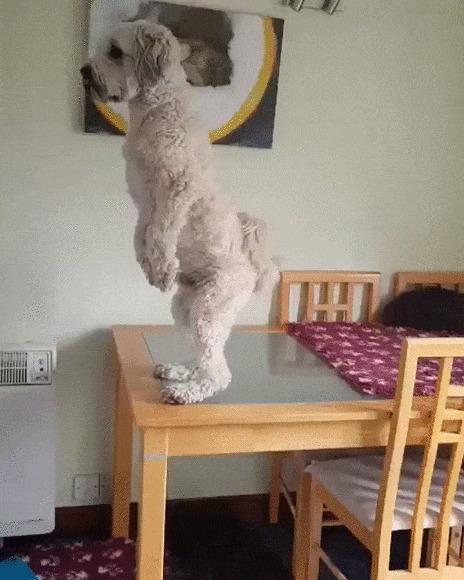 Когда ты остался один дома и слышишь какой-то шум Собака, Пудель, Домашние животные, Стол, На задних лапах, Шум, Испуг, Гифка