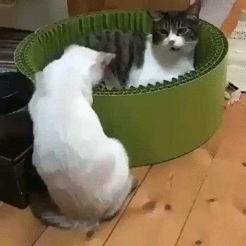 Нокаут Кот, Сиамский кот, Котомафия, Домашние животные, Удар, Лежанка, Гифка