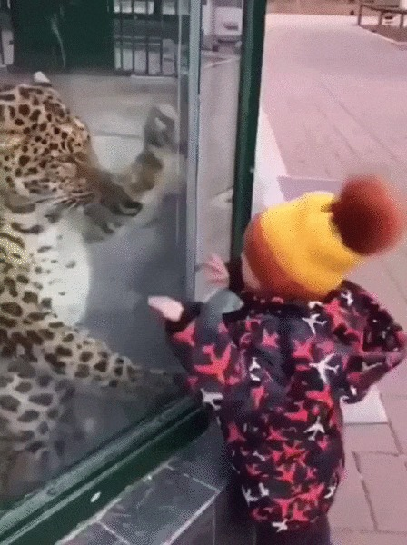 Ладушки Кот, Леопард, Большие кошки, Животные, Зоопарк, Дети, Ладушки, Гифка