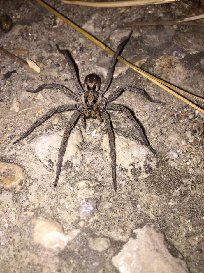 длинное крымские пауки фото и описание происхождения тайской породы