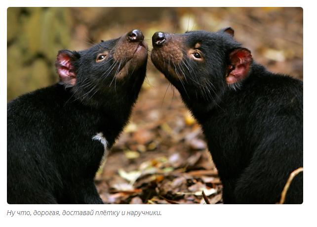 Тасманский дьявол: «Закрой свой Зубальник!» или статья про самого безумного хищника - фото 7