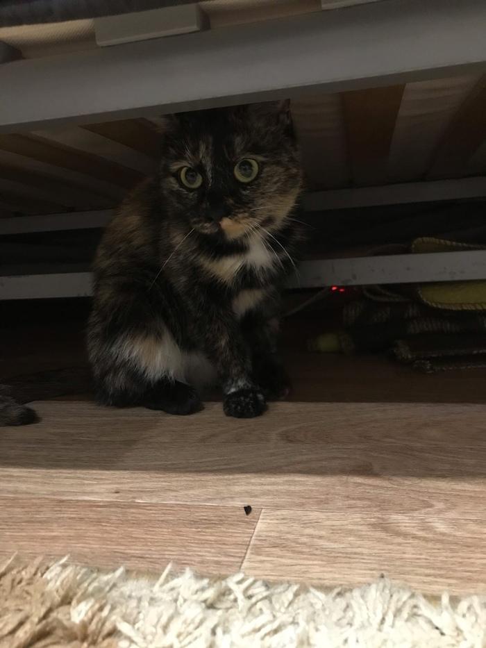 HELP ME Трехцветная кошка, Отдам, Новосибирск, В добрые руки, Помощь, Длиннопост, Кот, Без рейтинга