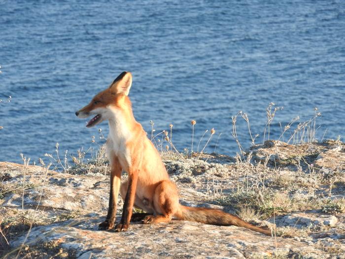 Неожиданный лис Лиса, Крым, Длиннопост
