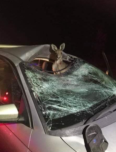 Сфоткай, типа меня машина сбила Австралия, ДТП, Кенгуру, Ute, Авария, Столкновение