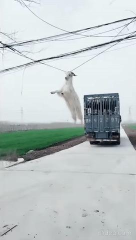 Что будет, если козёл выпрыгнет из движущегося грузовика