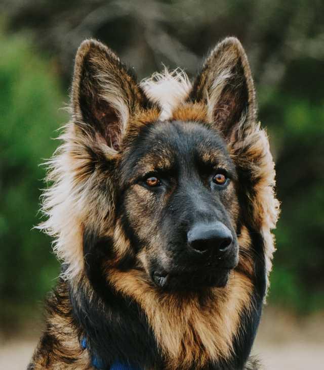 Почти лев) Собака, Немецкая овчарка, Фотография