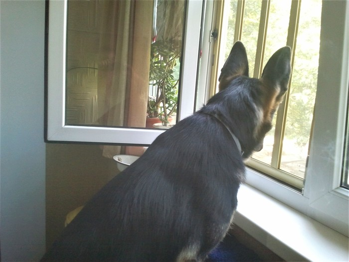 Любопытная Варвара. Девица в окошке Собака, Немецкая овчарка, Яндекс Дзен, Длиннопост