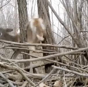 Охотник спас олененка застрявшего между деревьев
