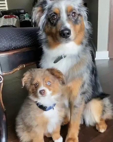 Иди к мамочке Собака, Щенки, Австралийская овчарка, Аусси, Домашние животные, Родители и дети, Милота, Гифка