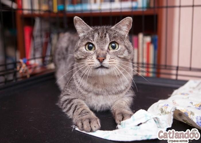 Кот Серый ищет семью! Кот, Москва, Приют для животных, Длиннопост, В добрые руки