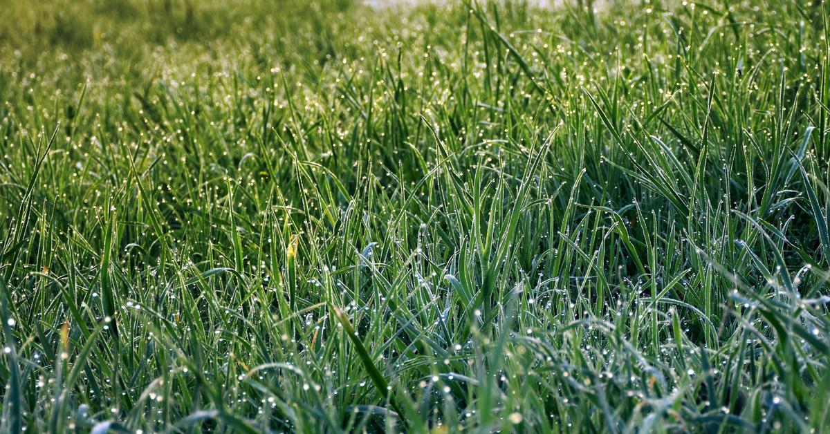 трава мурава фото большинстве дунганских семей