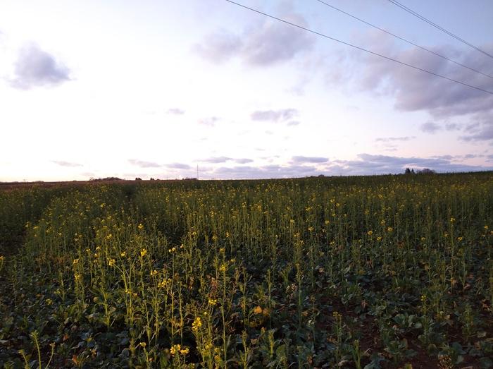 В Калининградской области начинает цвести рапс