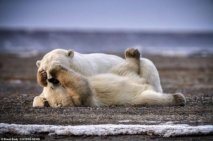 Белый медвежонок играет с мамой