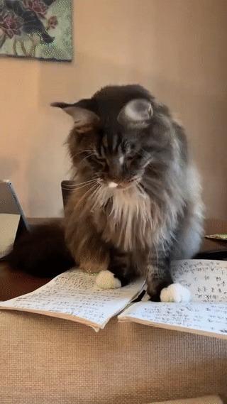 Мы писали, мы писали, наши лапочки устали Кот, Карандаш, Домашние животные, Вертикальное видео, Тетрадь, Мейн-кун, Гифка, Видео, Бумага