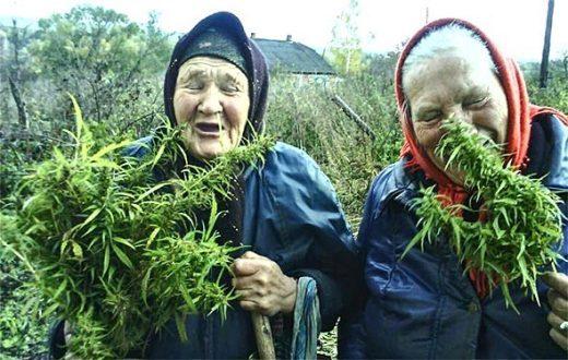 Брага на конопле путеводитель марихуаны
