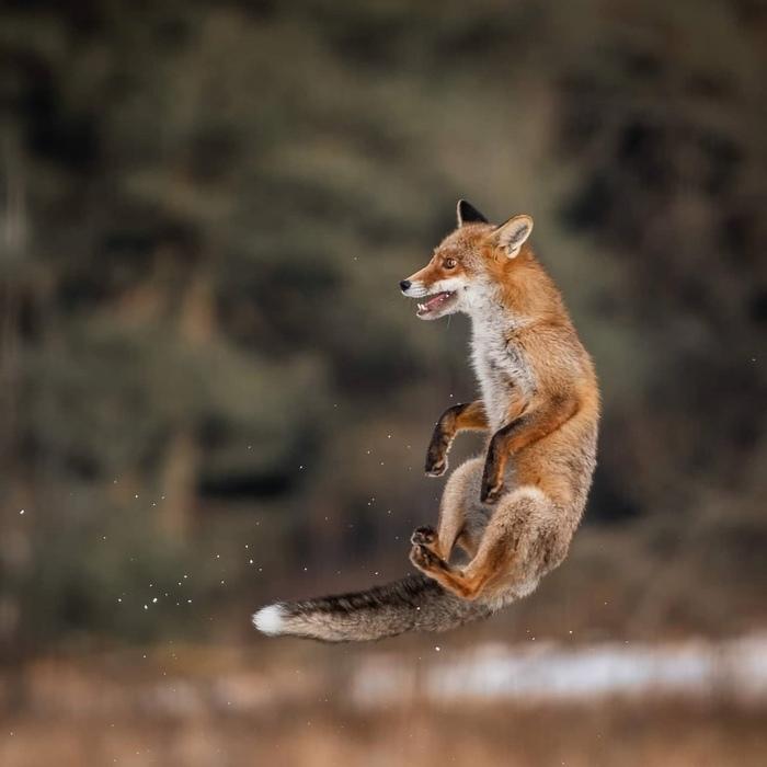 Лисица левитирует